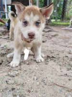 Siberian Husky Puppies for sale in Porter, TX 77365, USA. price: NA