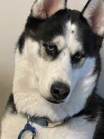 Siberian Husky Puppies for sale in Virginia Beach, VA 23462, USA. price: NA