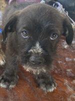 Silky Terrier Puppies Photos