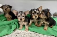 Silky Terrier Puppies for sale in Warrenton, VA, USA. price: NA