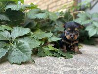 Silky Terrier Puppies for sale in Osborne, KS 67473, USA. price: NA