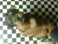 Silky Terrier Puppies for sale in Newark, NJ, USA. price: NA