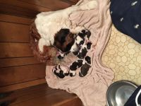Silky Terrier Puppies for sale in Waco, TX, USA. price: NA