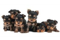 Silky Terrier Puppies for sale in Corona, CA, USA. price: NA