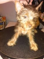 Silky Terrier Puppies for sale in Spokane, WA, USA. price: NA