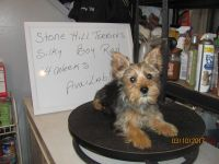 Silky Terrier Puppies for sale in Landing, Roxbury Township, NJ 07850, USA. price: NA