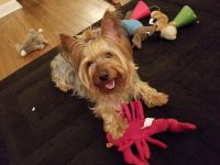 Silky Terrier Puppies for sale in Torrance, CA 90503, USA. price: NA