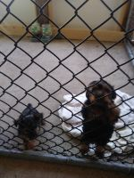 Silky Terrier Puppies for sale in New Bedford, MA, USA. price: NA