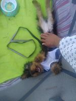 Silky Terrier Puppies for sale in Germantown, MD, USA. price: NA
