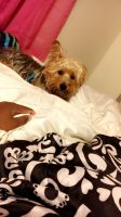Silky Terrier Puppies for sale in Schenectady, NY, USA. price: NA
