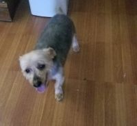 Silky Terrier Puppies for sale in Easton, PA, USA. price: NA