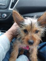Silky Terrier Puppies for sale in Plainfield, IL 60586, USA. price: NA