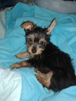 Silky Terrier Puppies for sale in Tucson, AZ, USA. price: NA