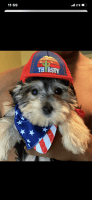 Silky Terrier Puppies for sale in New York, NY, USA. price: NA