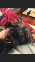 Silky Terrier Puppies for sale in Buffalo, NY, USA. price: NA