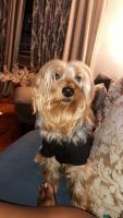 Silky Terrier Puppies for sale in 3101 Avenue I, Brooklyn, NY 11210, USA. price: NA