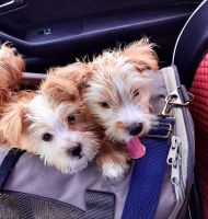 Silky Terrier Puppies for sale in Aventura, FL, USA. price: NA