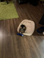 Silky Terrier Puppies for sale in Middletown, DE, USA. price: NA