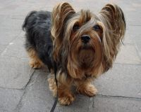 silky terrier dog