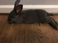 Silver rabbit Rabbits for sale in Greensboro, NC, USA. price: NA