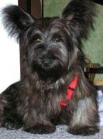 Skye Terrier Puppies for sale in Atlanta, GA, USA. price: NA