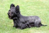 Skye Terrier Puppies for sale in OR-99W, McMinnville, OR 97128, USA. price: NA