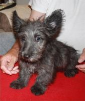Skye Terrier Puppies for sale in Austin, TX, USA. price: NA