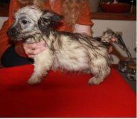 Skye Terrier Puppies Photos