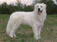 slovak cuvac dog
