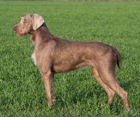 slovensky hrubosrsty stavac dog