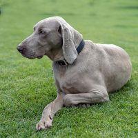 smooth haired weimaraner dog
