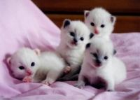 Snowshoe Cats for sale in Georgetown, GA, USA. price: NA