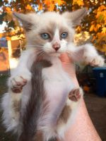 Snowshoe Cats for sale in Fremont, OH 43420, USA. price: NA