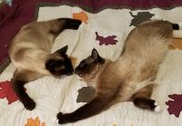 Snowshoe Cats Photos