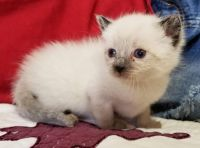 Snowshoe Cats for sale in Seymour, WI 54165, USA. price: NA
