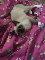 Snowshoe Cats for sale in Middleton, ID 83644, USA. price: NA