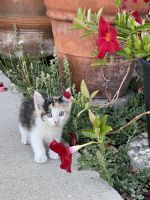 Snowshoe Cats for sale in La Verne, CA 91750, USA. price: NA