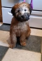 Soft-Coated Wheaten Terrier Puppies for sale in Virginia Beach, VA, USA. price: NA