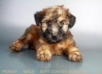 Soft-Coated Wheaten Terrier Puppies for sale in San Diego, CA, USA. price: NA