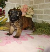 Soft-Coated Wheaten Terrier Puppies for sale in Bauxite, AR, USA. price: NA