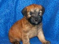 Soft-Coated Wheaten Terrier Puppies for sale in St Pete Beach, FL, USA. price: NA
