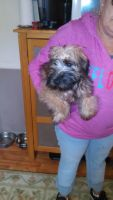 Soft-Coated Wheaten Terrier Puppies for sale in Detroit, MI, USA. price: NA