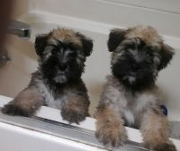 Soft-Coated Wheaten Terrier Puppies for sale in De Soto, MO 63020, USA. price: NA