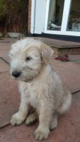 Soft-Coated Wheaten Terrier Puppies for sale in Edmond Crossing Boulevard, Edmond, OK 73013, USA. price: NA