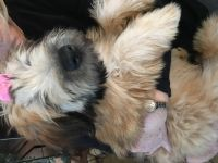 Soft-Coated Wheaten Terrier Puppies for sale in Plymouth, MI 48170, USA. price: NA