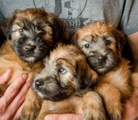Soft-Coated Wheaten Terrier Puppies for sale in San Antonio, TX, USA. price: NA