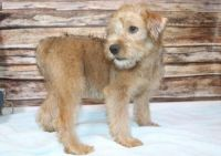 Soft-Coated Wheaten Terrier Puppies for sale in OR-99W, McMinnville, OR 97128, USA. price: NA