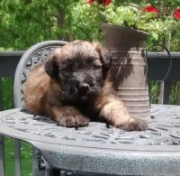 Soft-Coated Wheaten Terrier Puppies for sale in Jacksonville, FL, USA. price: NA