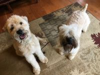 Soft-Coated Wheaten Terrier Puppies for sale in Houston, TX 77012, USA. price: NA