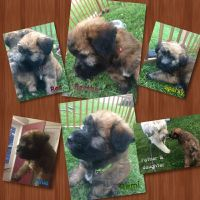 Soft-Coated Wheaten Terrier Puppies for sale in Caledonia, WI, USA. price: NA